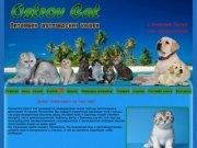 Ostrov Cat Питомник шотландских кошек и котят Нижний Тагил