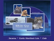 """White Sea"" - питомник кошек в Северодвинске"